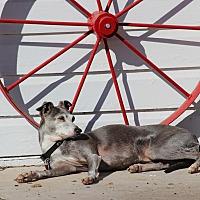 Adopt A Pet :: Blue in Oklahoma - Argyle, TX