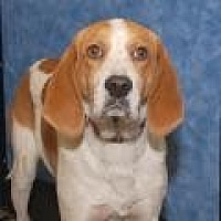 Hound (Unknown Type) Mix Dog for adoption in Stafford, Virginia - Charlie