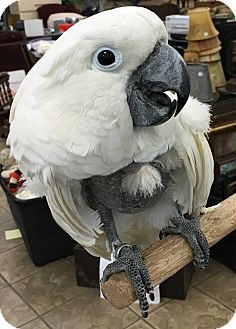 Cockatoo for adoption in Burleson, Texas - Seth