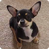 Adopt A Pet :: Pistachio - Sinking Spring, PA