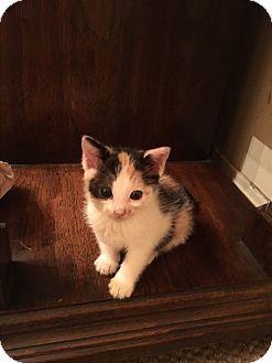 Domestic Mediumhair Kitten for adoption in Los Angeles, California - Phillipa
