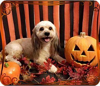 Maltese/Cocker Spaniel Mix Dog for adoption in Venice, California - Max