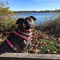 American Staffordshire Terrier/American Bulldog Mix Dog for adoption in Cedarbrook, New Jersey - Bean