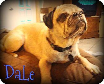 Pug Dog for adoption in Phoenix, Arizona - DALE