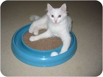 Domestic Mediumhair Kitten for adoption in Cincinnati, Ohio - Rocket Man