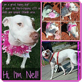 Pointer/American Bulldog Mix Dog for adoption in Orlando, Florida - Nell