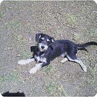 Schnauzer (Standard)/Dachshund Mix Dog for adoption in Los Angeles, California - Tanner & Jordan