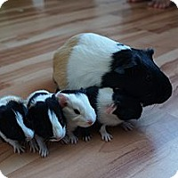 Adopt A Pet :: Izzy - Brooklyn Park, MN