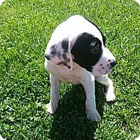 Adopt A Pet :: Tisha - South Jersey, NJ