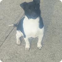Adopt A Pet :: JIMINY - New Windsor, NY