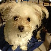 Adopt A Pet :: Butters - Orlando, FL