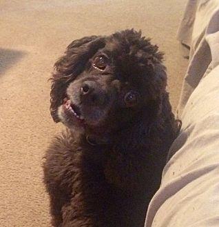 Cocker Spaniel Dog for adoption in Santa Barbara, California - Brutus