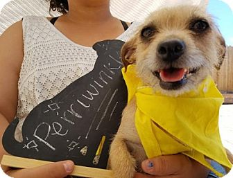 Terrier (Unknown Type, Medium) Dog for adoption in Apple Valley, California - Periwinkle