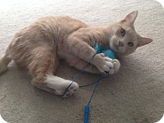 Domestic Shorthair Cat for adoption in Atlanta, Georgia - Beethovan
