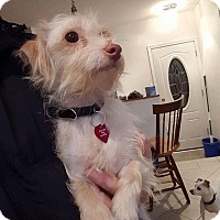 Adopt A Pet :: Sierra - Troy, MI