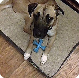 Shepherd (Unknown Type)/Black Mouth Cur Mix Dog for adoption in Dillsburg, Pennsylvania - Dega ***COURTESY POST***