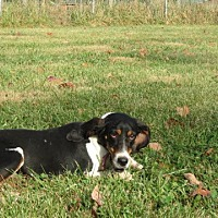 Treeing Walker Coonhound/Coonhound Mix Dog for adoption in Pleasant Plain, Ohio - Emily