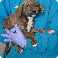 Adopt A Pet :: Paisley - Ozone Park, NY