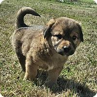 Adopt A Pet :: Boss Hog - Danbury, CT