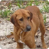 Adopt A Pet :: Dr. Red Duke - Pointblank, TX