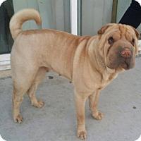 Adopt A Pet :: Roxy - Mira Loma, CA