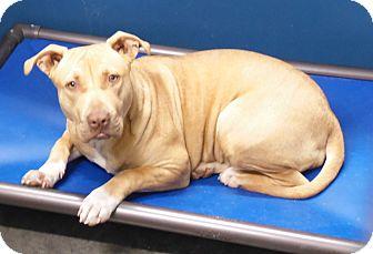Pit Bull Terrier Mix Dog for adoption in Henderson, North Carolina - Deena (HW Neg)*