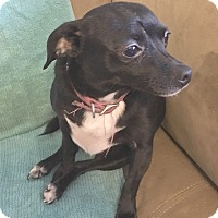 Chihuahua/Terrier (Unknown Type, Small) Mix Dog for adoption in San Francisco, California - Betty