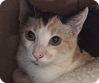 Domestic Shorthair Cat for adoption in LaJolla, California - Hope
