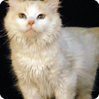 Siamese Cat for adoption in Newland, North Carolina - Sedona