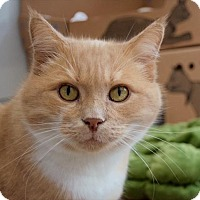Domestic Shorthair Cat for adoption in Vancouver, British Columbia - Sassafrass