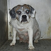 Adopt A Pet :: Miss Beagle*Not in Rescue Yet* - Guelph, ON