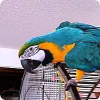 Adopt A Pet :: Layla - Lenexa, KS