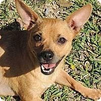 Adopt A Pet :: Bambi - La Habra Heights, CA