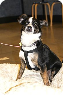 Terrier (Unknown Type, Small)/Chihuahua Mix Puppy for adoption in New Oxford, Pennsylvania - Taffy Girl