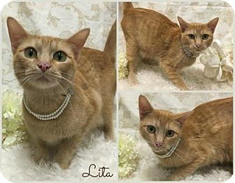 Domestic Shorthair Cat for adoption in Joliet, Illinois - Lita