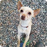 Chihuahua Mix Dog for adoption in Phoenix, Arizona - MARTIN