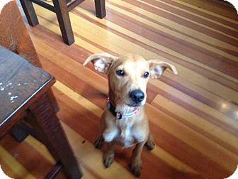 Labrador Retriever/German Shepherd Dog Mix Puppy for adoption in Torrance, California - Kirby