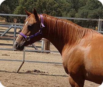 Quarterhorse for adoption in El Dorado Hills, California - Moola