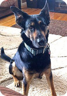 German Shepherd Dog/Australian Cattle Dog Mix Dog for adoption in Denver, Colorado - Odin