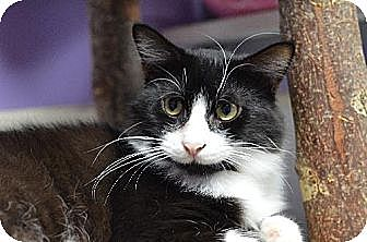 Domestic Shorthair Cat for adoption in Atlanta, Georgia - Zan 131057