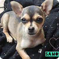 Adopt A Pet :: Samosa - Los Angeles, CA