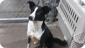 Border Collie Dog for adoption in Salem, Oregon - Rose