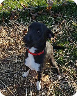 Beagle/Welsh Corgi Mix Puppy for adoption in Salem, Ohio - Jerry