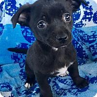 Adopt A Pet :: Tot - La Habra Heights, CA