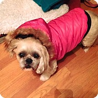 "Shih Tzu Dog for adoption in Acushnet, Massachusetts - Abigail ""Abbey"" Rose"