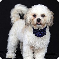 Shih Tzu/Poodle (Miniature) Mix Puppy for adoption in SAN PEDRO, California - Magoo