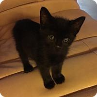 Adopt A Pet :: Shade - Monroe, GA