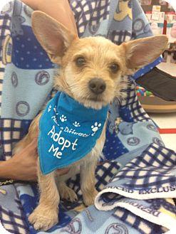 Terrier (Unknown Type, Small)/Corgi Mix Dog for adoption in Brea, California - Romeo & Lucky
