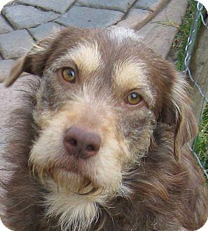 Labrador Retriever/Petit Basset Griffon Vendeen Mix Puppy for adoption in Oakley, California - Magoo