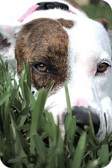 Pit Bull Terrier/Boxer Mix Dog for adoption in Orlando, Florida - Daisy